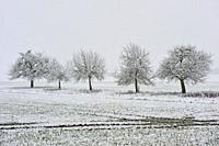 covered with snow apple trees, department of Eure-et-Loir, Centre-Val-de-Loire region, France, Europe.