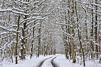 ´Champ des Epines´ forest road in the snow, Forest of Rambouillet, Haute Vallee de Chevreuse Regional Natural Park, Yvelines department, Ile de France...