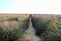 Lavender fields in Valensole, Provence, France.