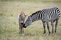 Common zebra mother and foal greeting {Equus quagga} Masai Mara National Reserve, Kenya, Africa.