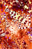 Coleman shrimp, Periclimenes colemani, on a fire urchin, Athenosoma varium, Anilao, Batangas, Philippines, Pacific.
