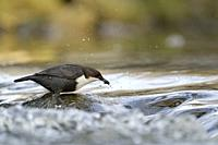 Successful hunting of White-throated Dipper / Dipper (Cinclus cinclus) stands on a rock in fast flowing water, wildlife, Europe.