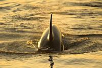 Orca, Lime Kiln Pt State Park, Washington.