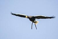Stellar Sea Eagle in flight during a flight demonstration at Warwick Castle, Warwickshire, England.