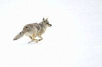 Coyote ( Canis latrans ) on the run, in winter, running, fleeing through high snow, Yellowstone NP, USA. .