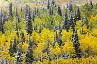 Snowing in the forest. Autumn. Big Cottonwood Canyon, Wasatch Range, Salt Lake City, Utah, Usa, America.