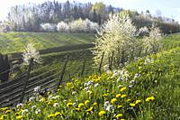 Spring in the foothills of Black Forest, resort town, Sasbachwalden, Germany, vineyard and blooming fruit trees, Black Forest kirsch trees.