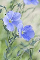 Flax, Linum usitatissimum.