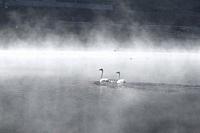 Swans and their brood, Yaze Lake, Kanas Lake National Park, Xinjiang, China.