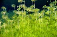 Freshwater plants. Water buttercup (Ranunculus sp. ). Lagoon. Laguna de Rubillon. Sierra do Suido. Galicia. Spain. Europe.