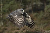 Great Grey Owl (Strix nebulosa) in flight, beating its wings, in nice surrounding of a boreal forest, typical habitat. Sweden