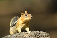 Ground squirrel, Newberry National Volcanic Monument, Oregon.