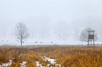 Fallow deer (Dama dama) herd foraging in field in front of hunting blind in winter