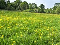 Buttercup meadow in early summer near Knaresborough North Yorkshire England.
