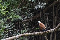 Adult black-collared hawk, Busarellus nigricollis, Amazon National Park, Upper Amazon River Basin, Loreto, Peru.
