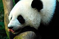 A panda eyes a treat and licks his lips.
