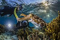 Adult broadclub cuttlefish, Sepia latimanus, with photographer on the reef at Sebayur Island, Flores Sea, Indonesia.