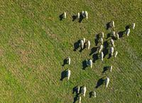 A flock of Merino sheep grazing in the meradow. Western Cape Province, South Africa.