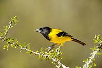 Audubon's oriole (Icterus graduacauda), Santa Clara Ranch, Starr County, Texas, USA.