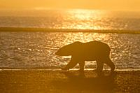 United States, Alaska, Arctic National Wildlife Refuge, Kaktovik, Polar Bear( Ursus maritimus ), walking along a barrier island outside Kaktovik, Alas...