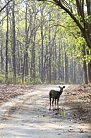 Asia, India, Uttarakhand, Jim Corbett National Park, Sambar Deer (Rusa unicolor),  Drinking in a puddle in a forest walkway of sal or sâla (Shorea r...