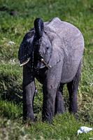 African Elephant baby drinking water in marsh in Ol Pejeta, Laikipia.