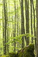 Beech wood (Fagus sylvatica). Parque Natural Sierra de Urbasa. Navarra. Spain.