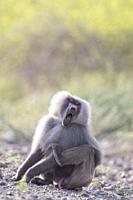 Africa, Ethiopia, Rift Valley, Awash, Hamadryas baboon (Papio hamadryas), Dominant male.