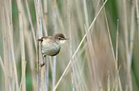 Reed Warbler-Acrocephalus scirpaceus. Spring. Uk.