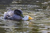 Two domestic ducks mating, Södermanland, Sweden.