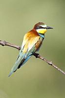 European bee-eater (Merops apiaster), Santa Margalida, Majorca, Balearic Islands, Spain