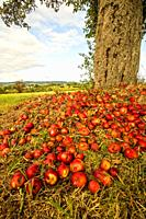heap of apples at a tree trunk with landscape in Germany