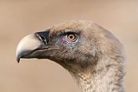 Griffon Vulture at Faia Brava Reserve, Portugal.