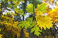 Oak leaves at Estrela Mountain, Portugal.