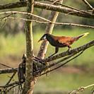 Montezuma Oropendola, Maquenque National Wildlife Refuge, Costa Rica.