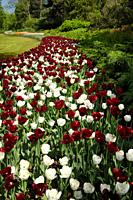 White Royal Virgin and dark red Paul Scherer Triumph tulip flowers at Canadian Tulip Festival Commissioners Park Ottawa Canada.