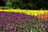 Purple Passionale yellow Strong Gold and Orange Balloon tulips with ferns in Spring at Commissioners Park during Canadian Tulip Festival Ottawa.