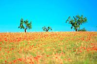 Country landscape. Plateau de Valensole, Alpes de Haute Provence, 04, PACA, France