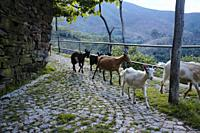 At the end of each day, the herds of goats move down the hills, to the small villiages in the Valleys of the Arada mountains.