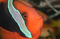 Female Tomato anemonefish, Amphprion frenatus, Puerto Galera, Oriental Mindoro, Philippines, Pacific.