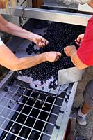 At a boutique winery in Tourbes, France stems are removed from Merlot grapes by hand.