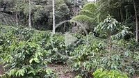 Coffee plantation owners supervising plant growth in the rural area of Huila. Colombia