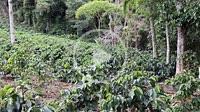 Coffee plantation in rural area