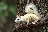 White Squirrel - color variant of Eastern Gray Squirrel (Sciurus carolinensis) - Brevard, North Carolina, USA.