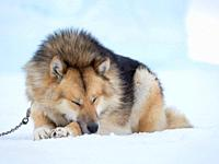 Sled dog during winter in Uummannaq in the north west of Greenland. Dog teams are still draft animals for the fishermen of the villages and stay all w...