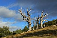 Ancient oak trees, Najerilla Valley, Rioja Region, Spain.