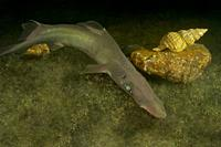 Deep sea. Birdbeak dogfish. Brier Shark. Shovelnose Spiny Dogfish (Deania calcea). Eastern Atlantic. Galicia. Spain. Europe.