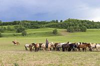 China, Inner Mongolia, Hebei Province, Zhangjiakou, Bashang Grassland, horses running in a group in the meadow.