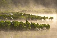 river with water plants and fog, Rio Claro, Pantanal, Mato Grosso, Brazil.