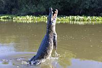 Yacare caiman (Caiman yacare), adult jumping out of water, Rio Claro, Pantanal, Mato Grosso, Brazil.